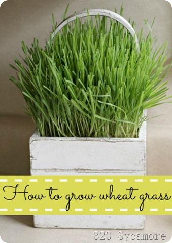 wheat grass 320 Sycamore