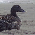 Eider Ducks-male and females