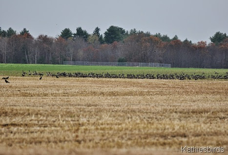 9. more geese and crows-kab
