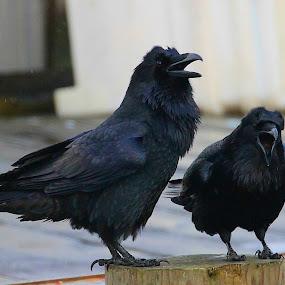 Laugh , laugh by Capt Jack - Animals Birds ( raven, aleutian, corvid, crow, black, revens )