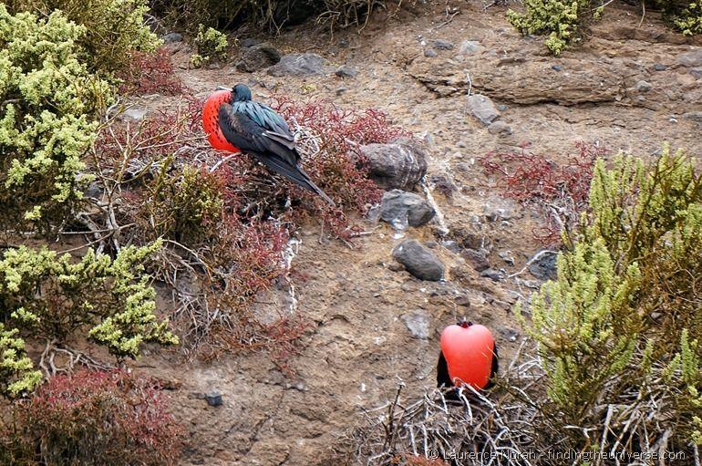 male frigate birds mating display Galapagos