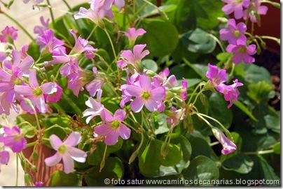 3684 S. Brígida-Cruz Piquillo(Trebina violeta)