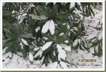 Magnolia in the snow 2014