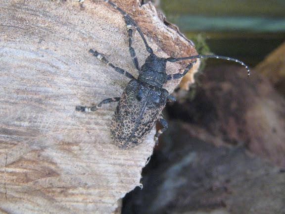 Cerambycidae : Lamiinae : Moechotypa diphysis PASCOE, 1871. Anisimovka (Primorskij Kraj, Oussouri), 28 juin 2011. Photo : G. Charet