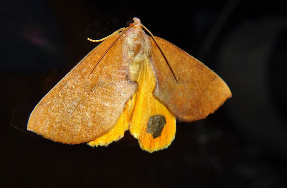 Geometridae : Ennominae : Nacophorini : Larophylla amimeta TURNER, 1917. Umina Beach (NSW, Australie), 8 mai 2011. Photo : Barbara Kedzierski
