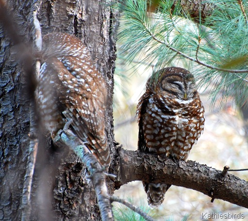 1. Mex spotted owl-kab