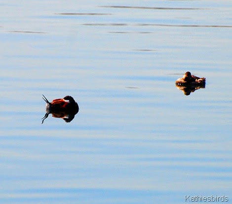 19. ruddy ducks-kab