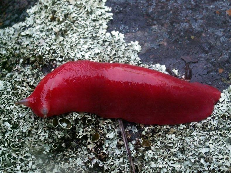 الحلزون الوردي العملاق في جبل كابوتار