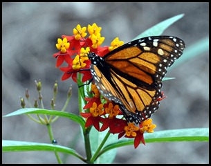 Monarch - Butterfly