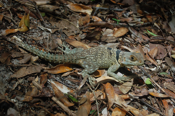 Iguanidae : Oplurinae : Oplurus cuvieri GRAY, 1831. Réserve d'Ankarafantsika (50 km à l'est de Majunga), 210 m d'altitude, 8 février 2011. Photo : T. Laugier