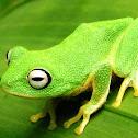 Leaf-nesting shrub frog
