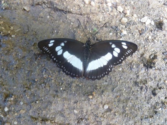 Pseudacraea lucretia apaturoides (C. & R. FELDER, [1867]), femelle. Parc de Mantadia (Madagascar), 27 décembre 2013. Photo : J. Marquet