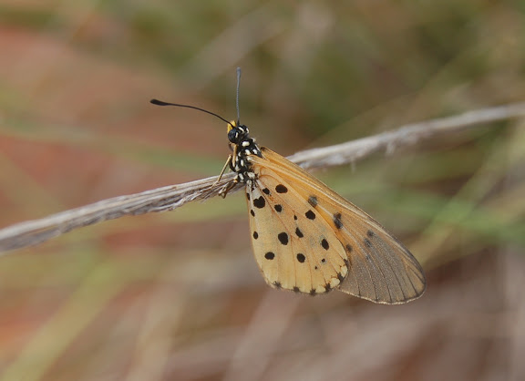 Acraea mahela BOISDUVAL, 1833, endémique. Forêt de la Montagne d'Ambre (500 m), au sud d'Antsiranana, 31 janvier 2011. Photo : T. Laugier