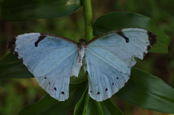 Morpho (Pessonia) epistrophus epistrophus FABRICIUS, 1796. Sertao de Barra do Una (Sao Sebastiao, SP). 16 février 2012. Photo : J.-M. Gayman