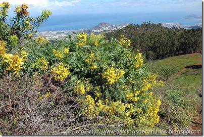 5272 La Laguna-Arucas(Cerraja arbórea)