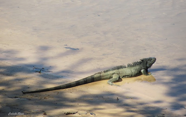 Iguane au bord du Rio Teles Pires (environs de Colider, Mato Grosso), 16 juillet 2011. Photo : C. Rissi