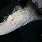 American alligator Albino