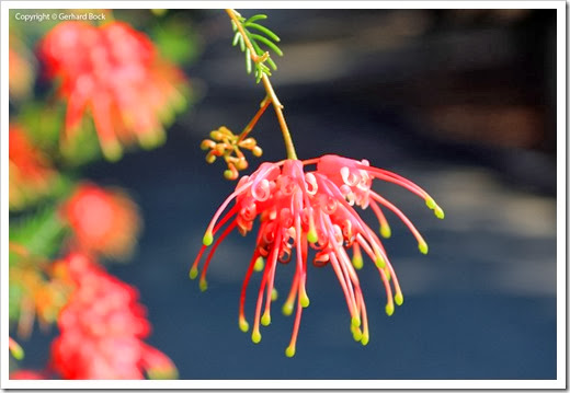 131124_UCD_Arboretum_AustralianCollection_Grevillea-thelemanniana_04