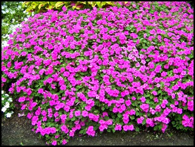 impatiens-walleriana4