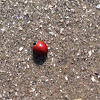 Spotless Lady Beetle (Cycloneda sanguinea)