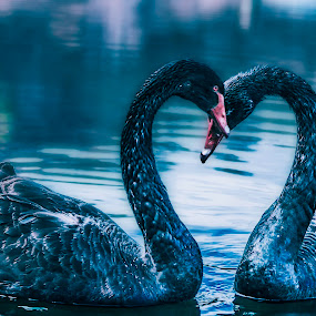 Black swan couple on Vacha reservoir by Kiril Krastev - Animals Birds ( bird, canon, reservoir, 70d, black swan, swan, couple, bulgaria, vacha,  )