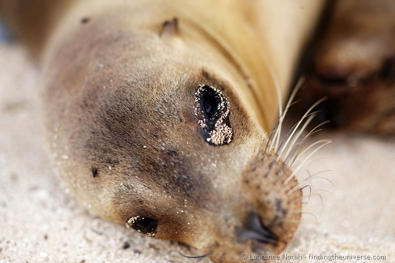 Another gorgeous sea lion in the Galapagos