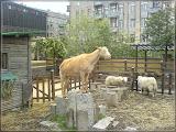 Jugendfarm Moritzhof - Ziegen und Schafe