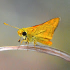 Orange Palm Dart Butterfly