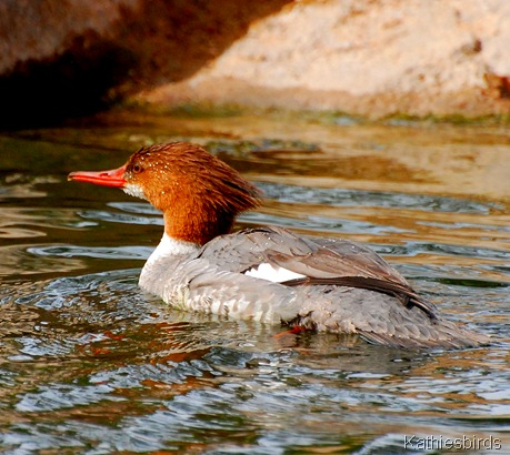 8. common merganser-kab