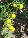 sinaasappel-225x300.jpg