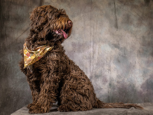 Ok look a little to your left by Jack Brittain - Animals - Dogs Portraits ( pet, portuguese water dog, dog, portrait, animal,  )