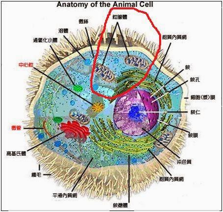 mitochondria 2