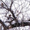 Robins and Cedar Waxwings