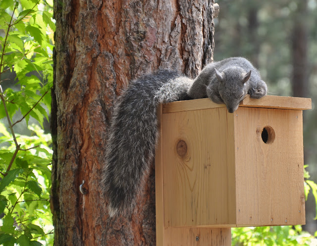 Squirrel Snoozing on the Bird House.JPG
