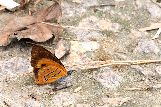 Sevenia amulia (CRAMER, 1777), mâle. Ebogo (Cameroun), 25 avril 2013. Photo : Daniel Milan