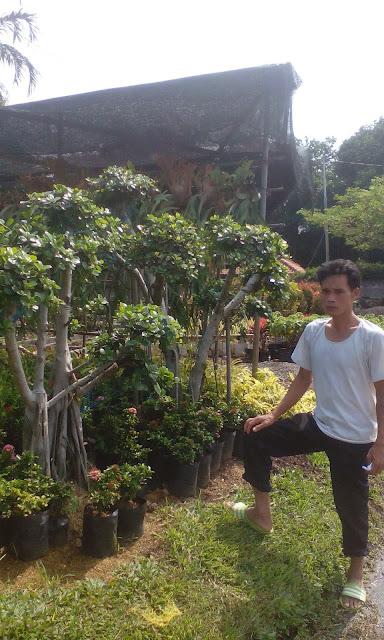 Jual tanaman bonsai beringin korea atau beringin dolar harga murah