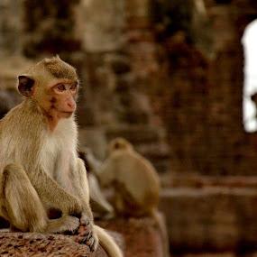 Monkey Temple by Matt Hulland - Animals Other ( bali, monkeys, indonesia, thailand, forest, monkey, animal )