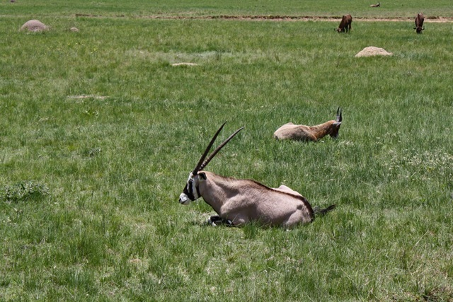 Prettiest Gemsbok, Lion Park Johannesburg