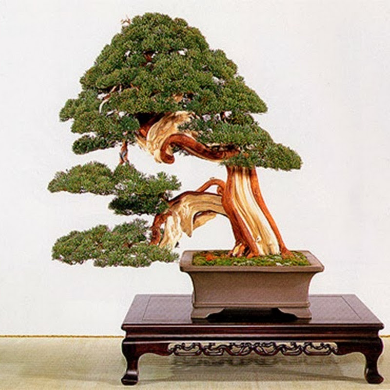 The Ancient Art of Bonsai: Gallery Junipers (Part 2).