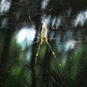Nhện Tơ Vàng(Golden Web Spider)