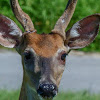 White-tailed deer (young buck)
