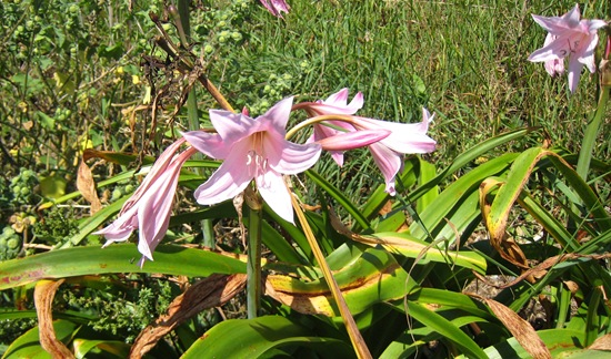 Jersey Lilies