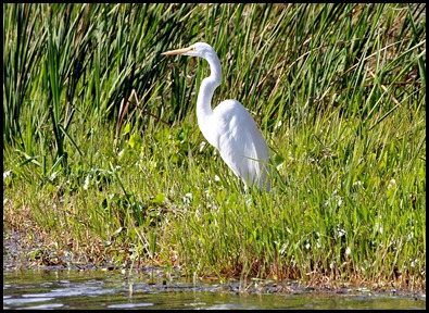 03 - Great Egret