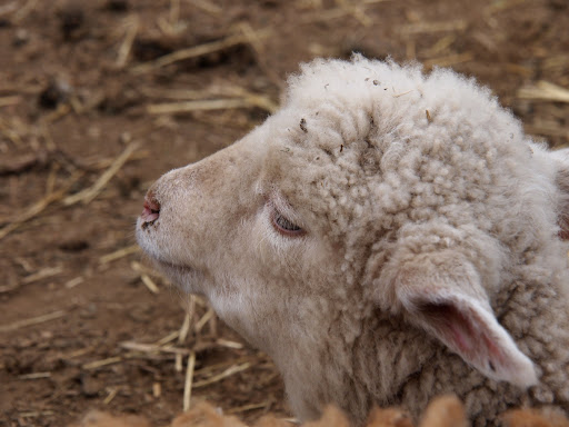 [写真]羊たちはだいたいうす汚い