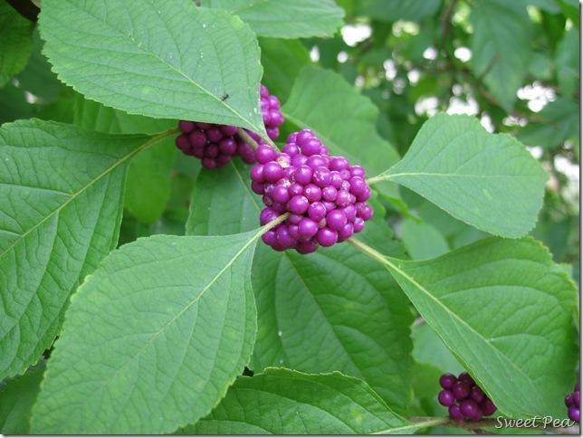 Beautyberry3