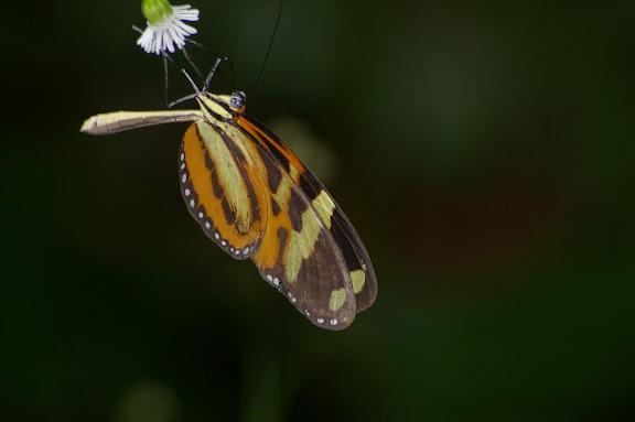 Melinaea ethra GODART, 1819. Caçandoca (Ubatuba, SP), 15 février 2011. Photo : J.-M. Gayman