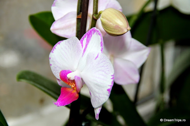 Orhidee 2081.JPG