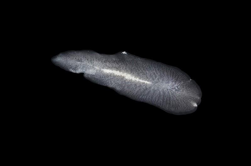 Polycladidae
