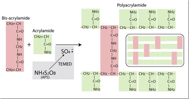 ammonium persulfate function in sds-page
