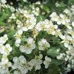 Weißdorn in Blüte